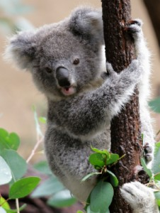 Cute Young Koala